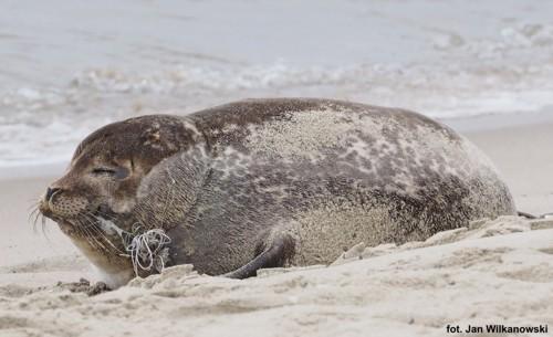 foka Celebrytka na brzegu morza
