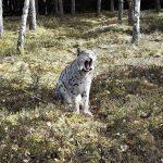 ryś Jurek w pilskich lasach
